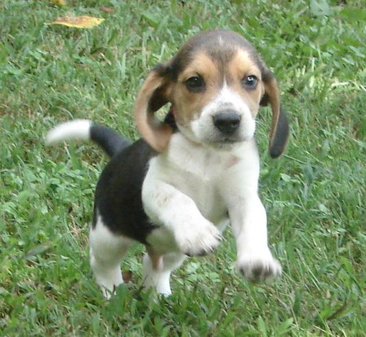 Guarantee Shiloh Little Beagles
